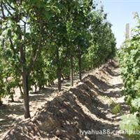 出售八棱海棠树,精品海棠树,80年以上梨树,银杏,塔松,桑树。