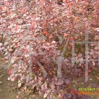 供应绿化苗木紫叶小檗,灌木,彩叶树,模纹,色块 .绿篱