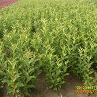 供应绿化工程用苗红王子锦带 高80-1.2 花期长