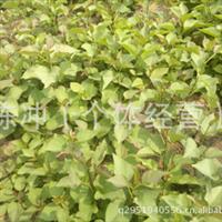 辽宁省智豪苗圃供应紫丁香小苗