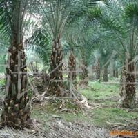 供应银海枣,中东海枣,老人葵,等棕榈科苗木