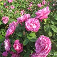 四季玫瑰 绿化苗木