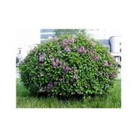 小叶丁香 绿化苗木