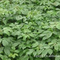 供应 绿化苗木 灌木乔木 常绿乔木 苗木乔木 重阳木(三叶树)