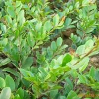 供应高30-150公分优质园林绿化苗木-蚊母树