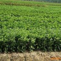 大量供应果树树苗-柑橘(桔)苗