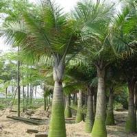 供应国王椰/头径30到60公分/价格电议