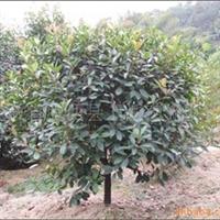 石楠球常年大量低价供应-安徽卫东苗圃较低价直销