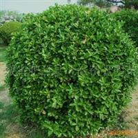 大叶黄杨球常年大量低价供应-安徽卫东苗圃较低价直销