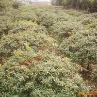 火棘球常年大量低价供应-安徽卫东苗圃较低价直销