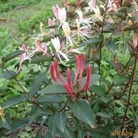 红色金银花