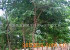 大量供应构树、构树小苗、乔木、绿化苗木
