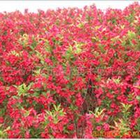 供应红王子锦带 园林绿化苗 绿化工程苗木 绿化乔木 灌木