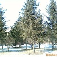 供应红皮云杉 园林绿化苗 绿化工程苗木 绿化乔木 灌木