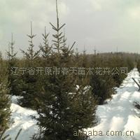 供应红皮云杉 园林绿化苗 绿化工程苗木 绿化 乔木 灌木
