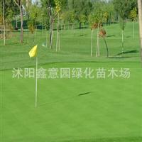 供应草坪种子,庭院,公园专用早熟禾种子(纳苏),耐寒、生长矮小