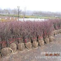 供应:优质紫叶小檗 紫叶小檗球(红叶小檗球) 紫叶小檗球价格