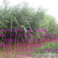 批发优质绿化苗木 速生柳树苗13793459676