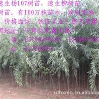 销售2012优质速生柳树苗 13793459676