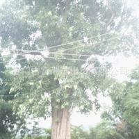 限量协助福建省漳州市大菩提树的栽培