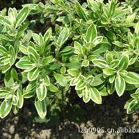 Serissa  japonica     【六月雪】  园林绿化苗木