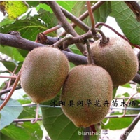 猕猴桃树苗 猕猴桃苗-徐香猕猴桃
