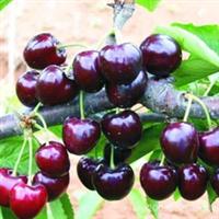 供应优质黑珍珠樱桃苗木 苗木批发