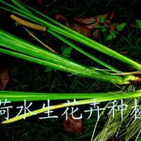 供��水生花卉 菖蒲(�D)
