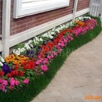 供应三色堇、甘兰、牵牛花、海棠、一串红等各种草花