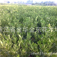 供应早熟桔子树苗 移植桔子苗木 各种绿化苗木