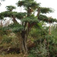 对节白蜡绿化景观树 对节白蜡盆景 对节白蜡绿化苗木