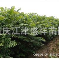 供应红油香椿苗 食用香椿 造林香椿 13500309868