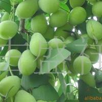 大量低价出售银杏苗1—5公分的大小苗均有