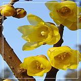 【腊梅种子】梅花种子  当年新采种子