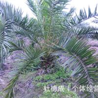 大量供应绿化苗木:加拿利海枣2000棵