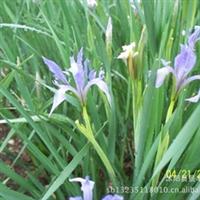 我苗圃大量批发鸢尾 麦冬 金边麦冬等花卉