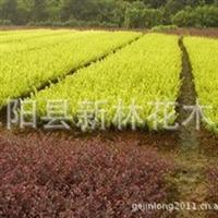 绿化用苗 红叶小檗 紫叶小檗 色块用苗 绿篱用苗