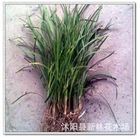 供��批�l��冬草,小�~��冬 可成坪 地被 色�� �G化苗木