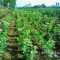 【热门供应】盆装 地栽 八宝景天 常年供应绿化工程苗木 量大从优