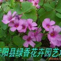 供应绿化苗木 红花�m浆草 俗称红花草 太阳花