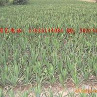 华东园艺大量出售丝兰,剑麻,等绿化苗木价格面议