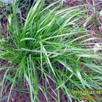 供应大量优质牧草种-黑麦草籽13218910527