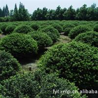 低价供应 工程绿化苗 龟甲冬青球