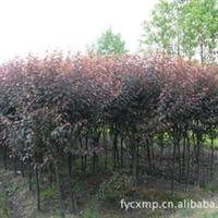 大量低价供应 工程绿化 苗木 红叶李 园林绿化 苗木 批发