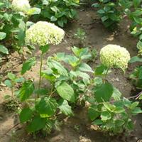长期供应各种规格灌木,大花 木绣球