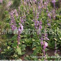 大量�N售各�N玉簪紫�~玉簪及白玉簪花卉苗木