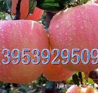 低价供优质红富士苹果苗,红富士苗木,红富士苹果树