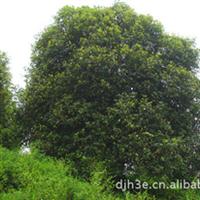 桂花古树 园林绿化树木