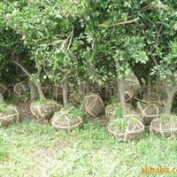 供应3-10CM大规格园林绿化用桔子树