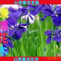 大量批发绿化苗木 优质蝴蝶兰 鸢尾 红花草又名红花酢浆草 玉簪
